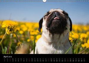 Mops 2016 (Wandkalender 2016 DIN A3 quer)