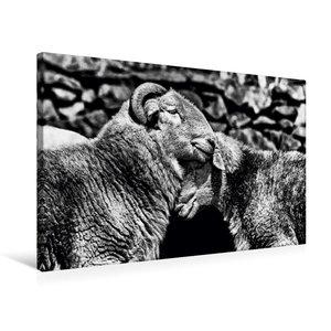 Premium Textil-Leinwand 75 cm x 50 cm quer Schafe