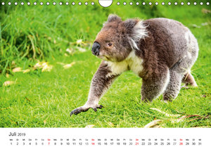 Koala - Aschgrauer Beutelbär 2019. Tierische Impressionen (Wandk