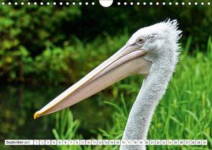Liebenswerte Pelikane