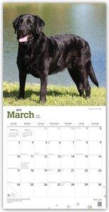 Black Labrador Retrievers - Schwarze Labradore 2019 - 18-Monatsk