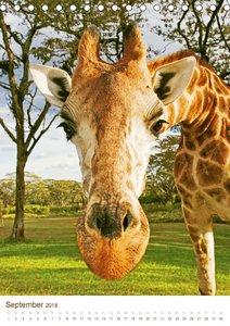Giraffen: Schlanke Schönheiten aus Afrika (Tischkalender 2018 DI
