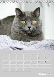 Graue Engel - Britischkurzhaar-Katzen (Tischkalender 2019 DIN A5