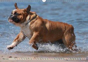 Bulldoggen - Englische und Französische Bulldoggen (Wandkalender