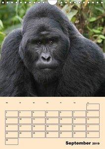 Gorillas (Wandkalender 2019 DIN A4 hoch)