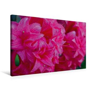 Premium Textil-Leinwand 75 cm x 50 cm quer Rosa Rhododendron