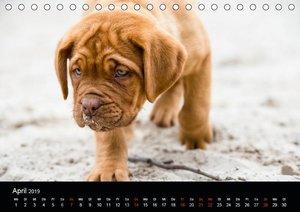 Bordeauxdoggen Welpen (Tischkalender 2019 DIN A5 quer)