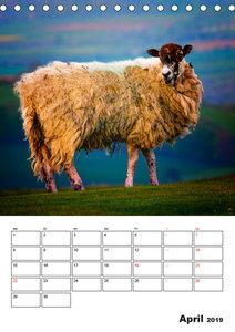 Schafe und ihre Lämmer / Planer (Tischkalender 2019 DIN A5 hoch)