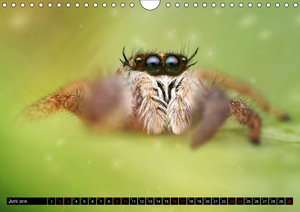 Faszination Makrofotografie: Springspinnen