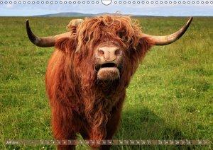 Schottische Hochlandrinder - Highland Cattle im Portrait