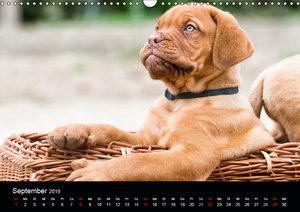 Bordeauxdoggen Welpen (Wandkalender 2019 DIN A3 quer)