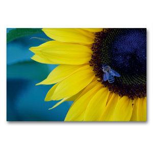 Premium Textil-Leinwand 90 cm x 60 cm quer Honigbiene auf Sonnen