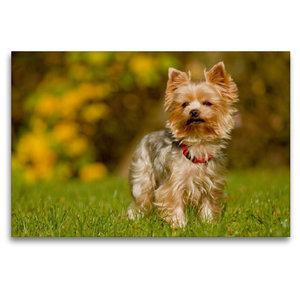 Premium Textil-Leinwand 120 cm x 80 cm quer Yorkshire Terrier