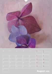 Renaissance der Hortensie (Wandkalender 2020 DIN A3 hoch)