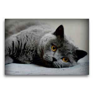Premium Textil-Leinwand 75 cm x 50 cm quer Britischkurzhaar Katz
