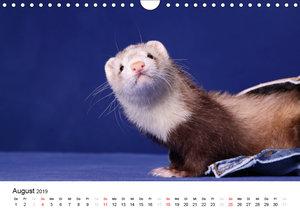 Frettchen - Ferrets (Wandkalender 2019 DIN A4 quer)