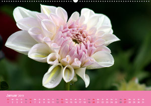 Dahlien (Wandkalender 2019 DIN A2 quer)