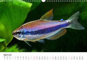 Beliebte Fische der Welt (Wandkalender 2020 DIN A3 quer)