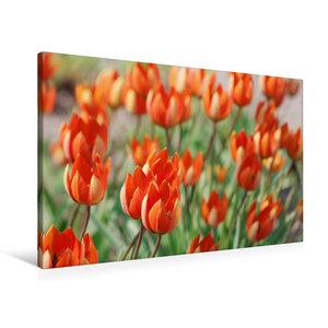 Premium Textil-Leinwand 90 cm x 60 cm quer Tulipa whittallii ode