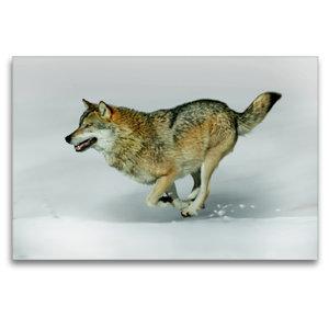 Premium Textil-Leinwand 120 cm x 80 cm quer Wolf verfolgt Beute
