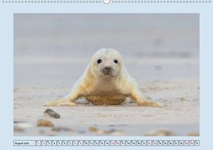 Helgolands Kegelrobben