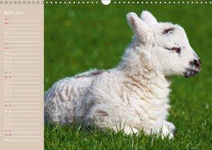 Schafe / Geburtstagskalender