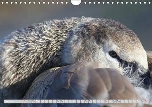 Der Höckerschwan - Göttervogel
