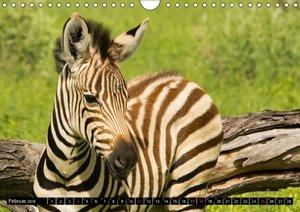 Zebras - Faszination der Wildnis