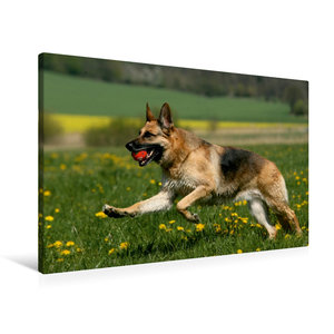 Premium Textil-Leinwand 90 cm x 60 cm quer Deutscher Schäferhund