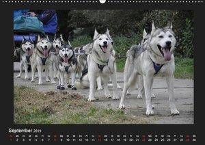 Husky-Kalender (Wandkalender 2019 DIN A2 quer)