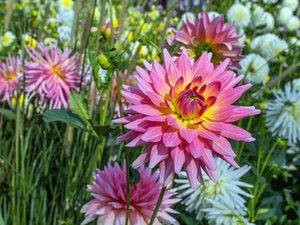 CALVENDO Puzzle Blumen - Geschenke der Natur - Rote Dahlien 1000