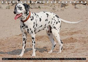 Gefleckte Freunde - Hunderasse Dalmatiner (Tischkalender 2020 DI