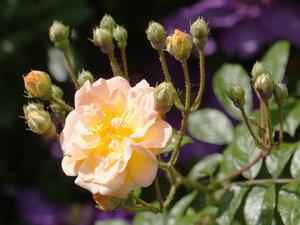 CALVENDO Puzzle Rosa \'Ghislaine de Feligonde\' 1000 Teile Lege-
