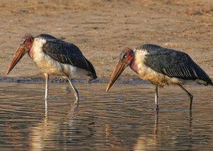 Afrikanische Vogelwelten (Posterbuch DIN A3 quer)
