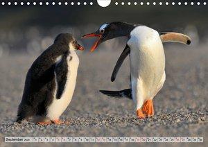 Pinguine der Falkland Inseln