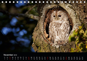 Waldkäuze, fotografiert in München (Tischkalender 2019 DIN A5 qu