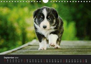 Der Bordercollie-Kalender (Wandkalender 2019 DIN A4 quer)