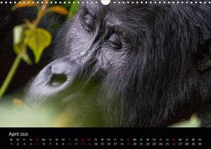 Affengesichter - Primaten in Uganda