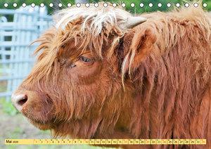 Highland Cattle, die Hochlandrinder aus Pfeffingen (Tischkalende