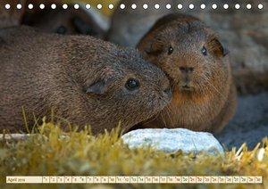 MEERSCHWEINCHEN neugierig - süß - liebenswert (Tischkalender 201