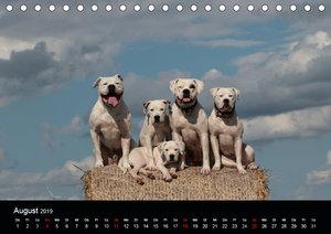 American Bulldog - stolz, loyal, einzigartig (Tischkalender 2019