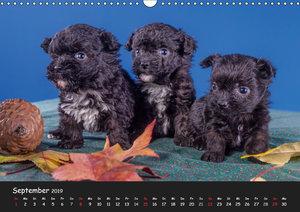 Bolonka Welpenstube (Wandkalender 2019 DIN A3 quer)