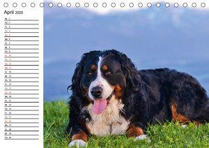 Augenblicke mit dem Berner Sennenhund (Tischkalender 2020 DIN A5