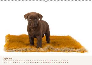 Labrador - Welpen (Wandkalender 2019 DIN A2 quer)