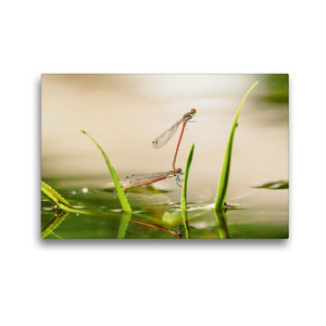 Premium Textil-Leinwand 45 cm x 30 cm quer Libellenpärchen in ge