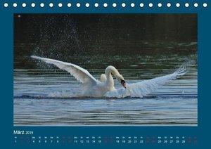 Kampf der Schwäne. Höckerschwäne in Aktion! (Tischkalender 2019
