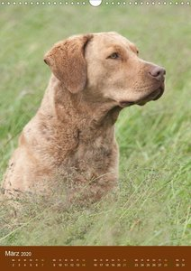 Chesapeake Bay Retriever 2020