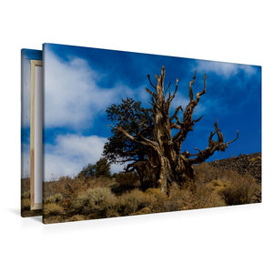 Premium Textil-Leinwand 120 cm x 80 cm quer Ancient Bristlecone