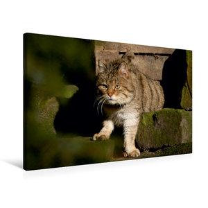 Premium Textil-Leinwand 75 cm x 50 cm quer Wildkatze