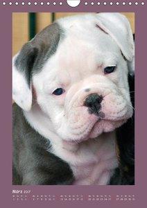 Bulldoggen-Babys